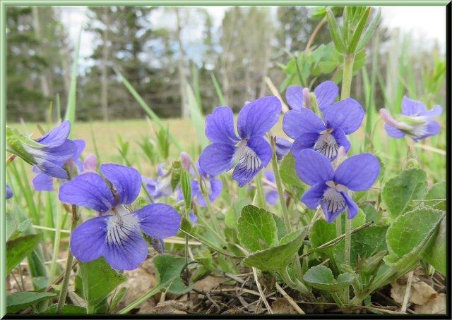 group of purple violets.JPG