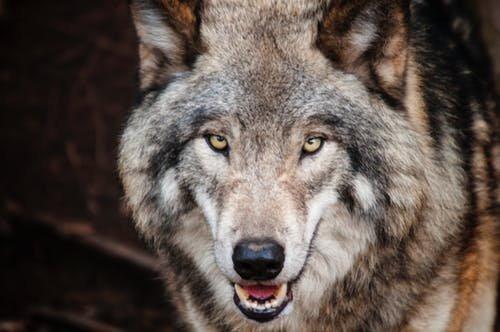 wolf contest.jpeg