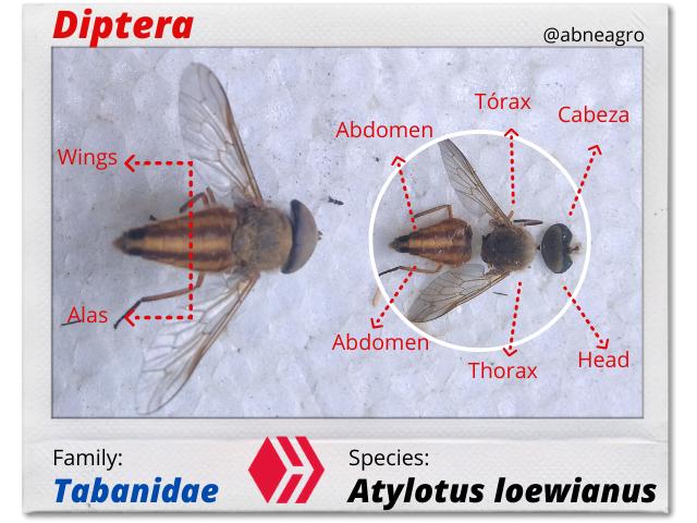 Diptera(5).png