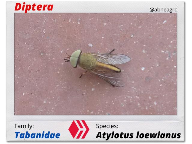 Diptera(1).png