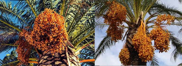 date-palms.jpg