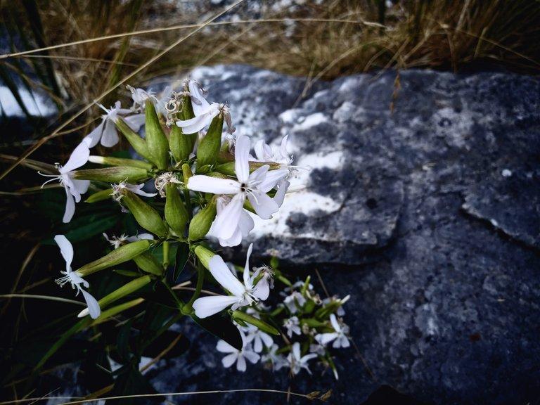 Simple Flowers at the Passo del Vestito