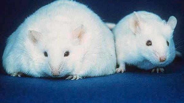 discovery-leptin-protein-mice-connection-obesity-diabetes.jpg