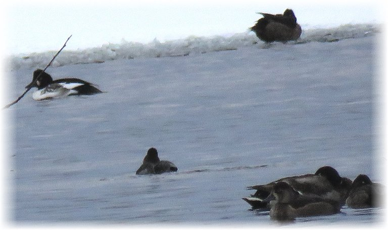 different black and white duck swimming in icy water by other ducks.JPG
