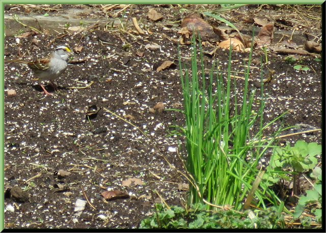 sparrow on fresh seed soil with chives and colombine just coming up.JPG