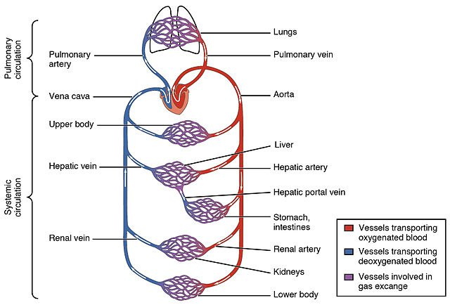 The systemic circulation and capillary networks shown and also as separate from the pulmonary circulation