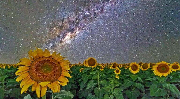 sunflowers (3).jpg