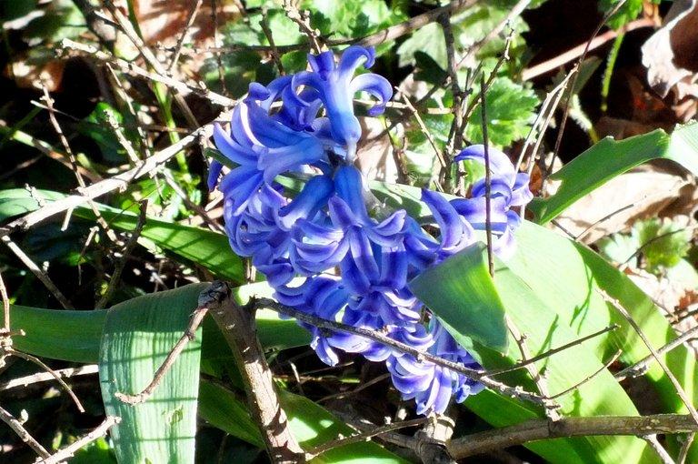 WLE0100-Hyacinth.jpg