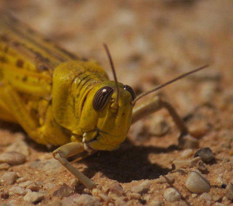 Desert Locust_head Adam Matan 3.0.jpg