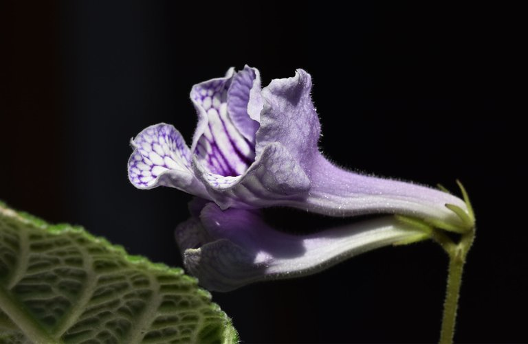 Streptocarpus light purple flower 4.jpg