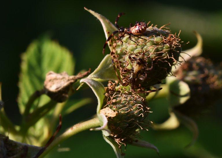 Coreus marginatus raspberry bug  9.jpg