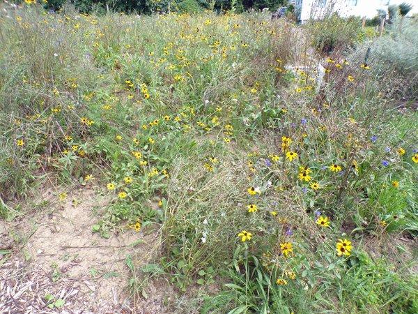 Wildflowers crop August 2020.jpg
