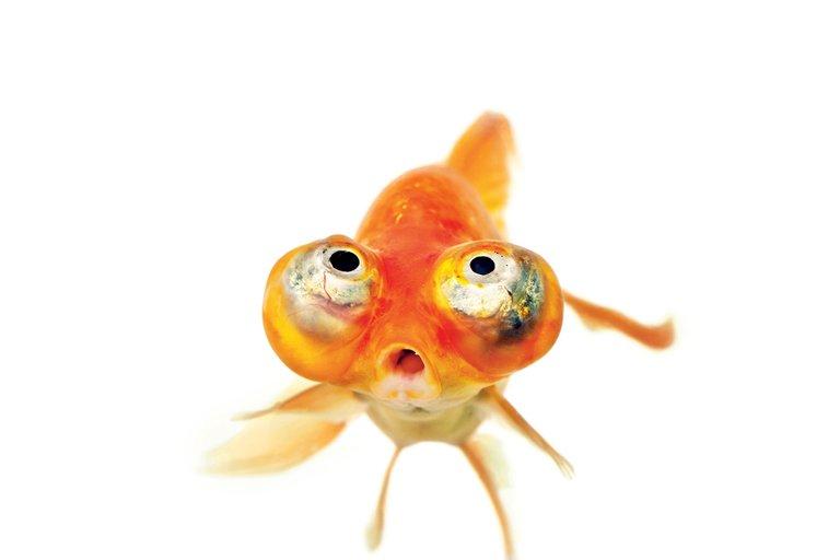 gold fish bulging eyes.jpg