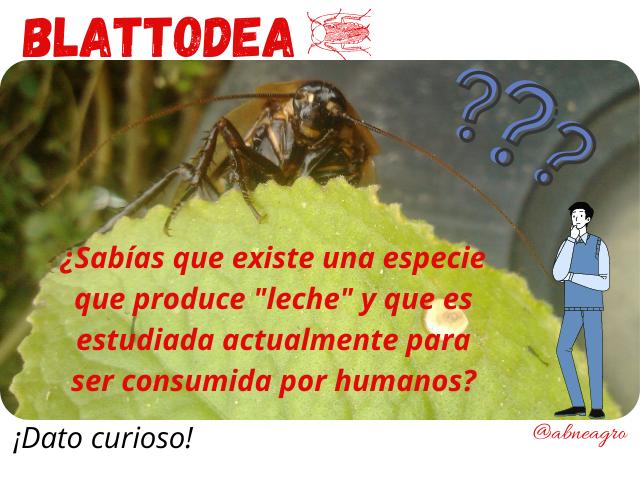 Blattodea 2 leche.png