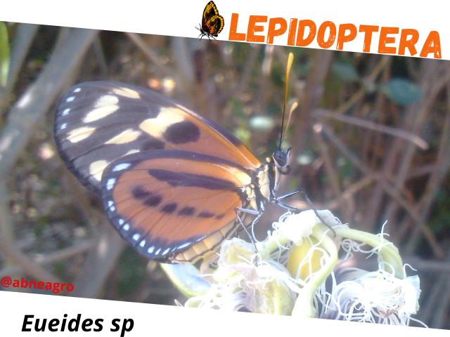 Lepidoptera portada.png