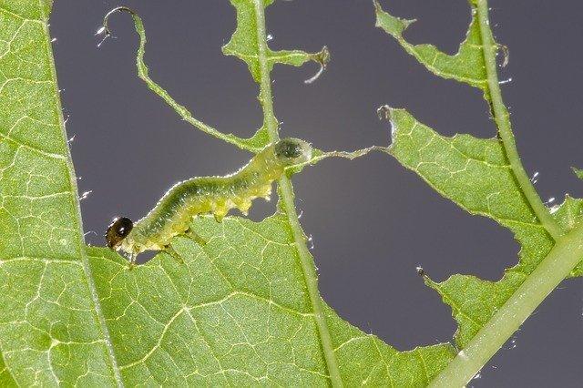 sawflies-larvae-2465814_640.jpg