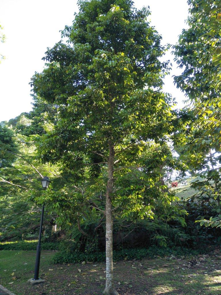 5a Canarium Vulgare 1.jpg