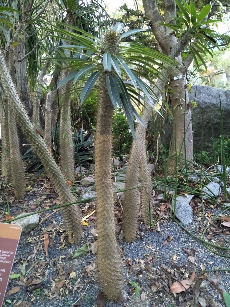 9 bmadagascar palm 0c.jpg