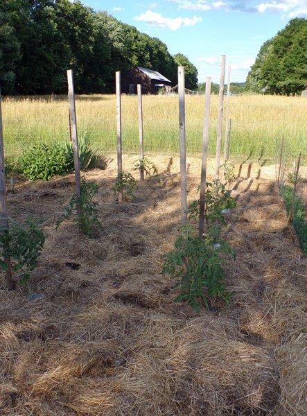 Big garden  tomatoes crop June 2020.jpg