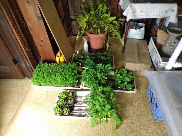 Seedlings on the move2 crop May 2020.jpg