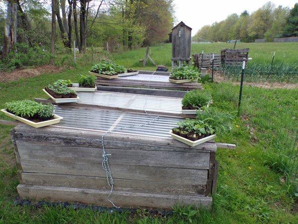 Seedlings on the move3 crop May 2020.jpg