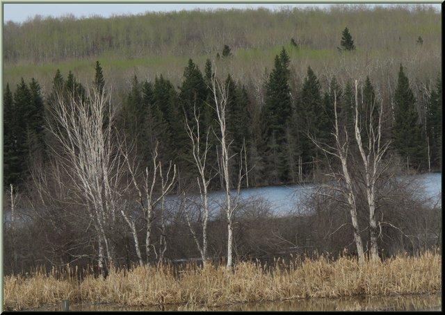 first flush of green behind 3 birch trees.JPG
