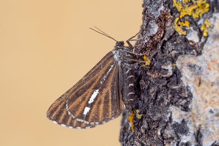Kiefernspanner Bupalus piniaria_P1115981.jpg