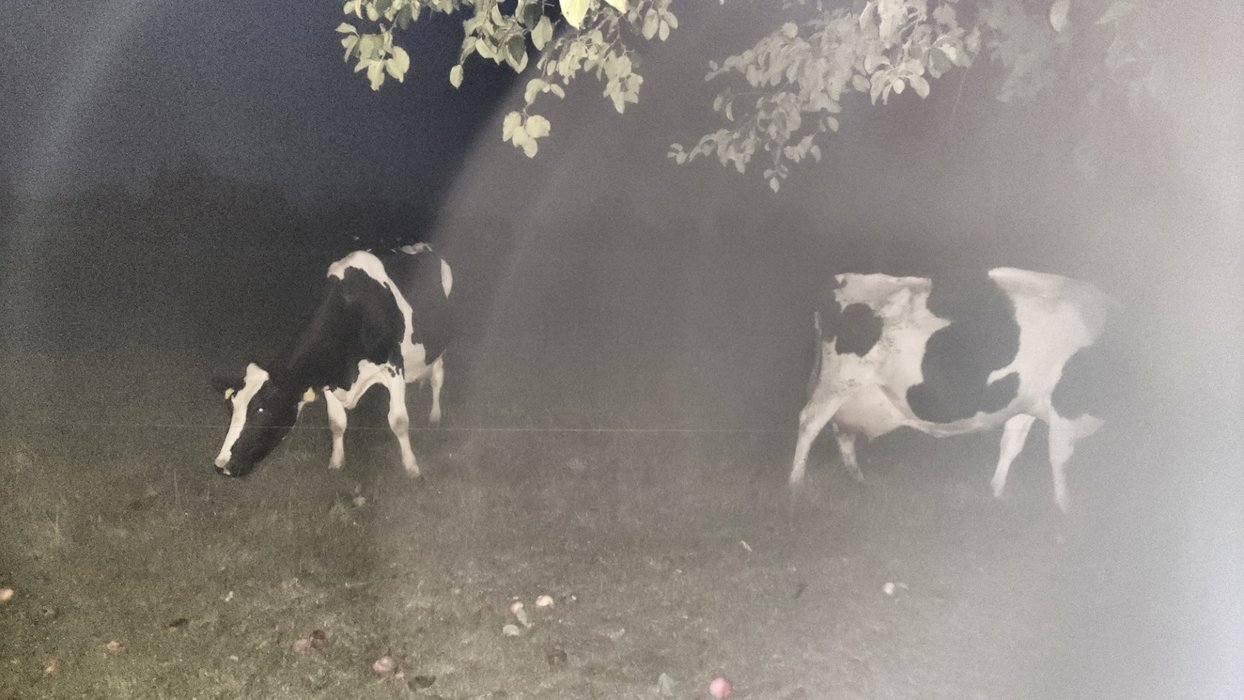 The cows of the night.