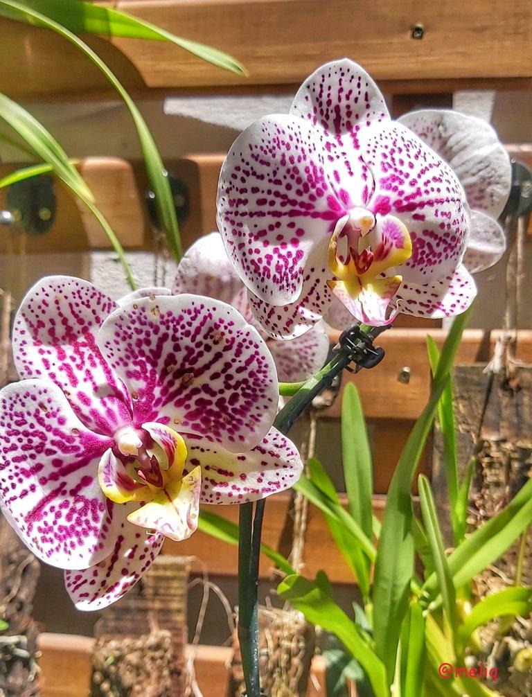 orquidea.jpeg