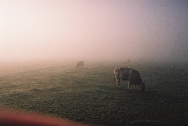 cows in a foggy morning