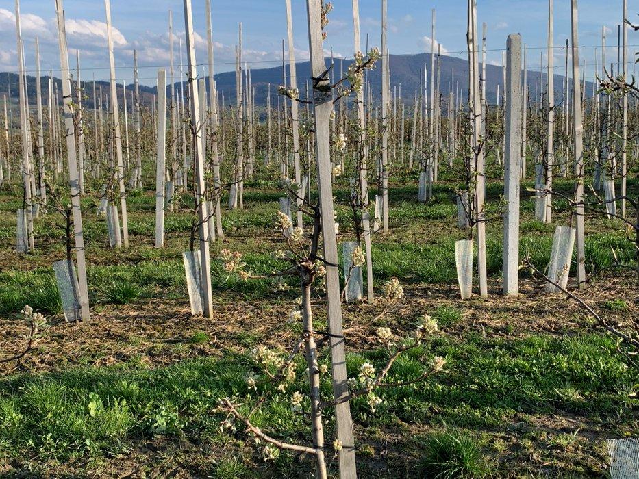 Sad jabłoniowy pod Cietniem