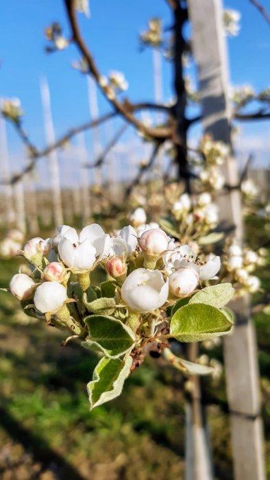 Kwitnąca jabłoń pod Cietniem, fot. Agnieszka