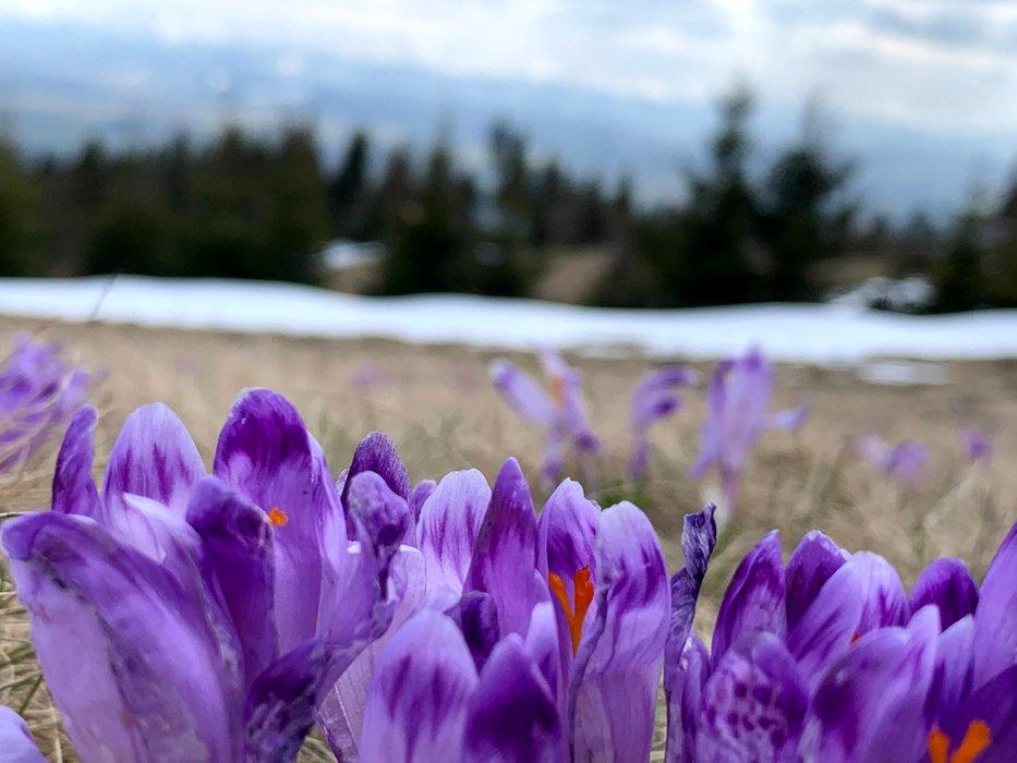 Krokusy na polanie Bukowina. W tle Tatry