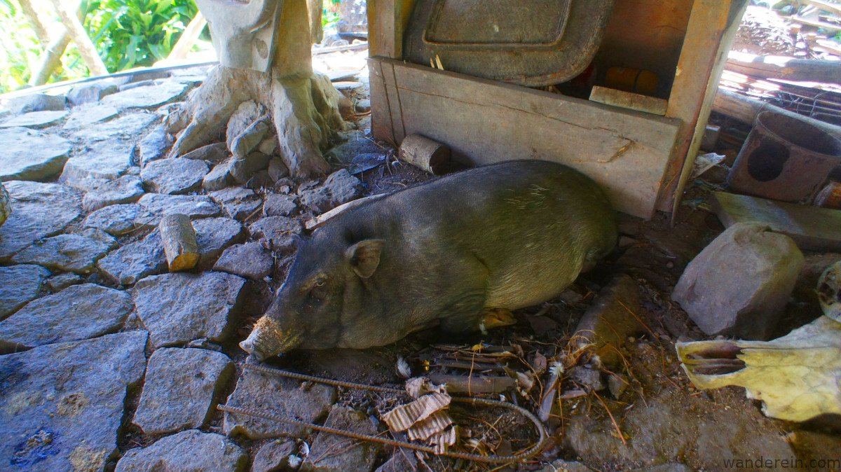 native pig (to be offered in an upcoming ritual) freely roams in his open pig pen area