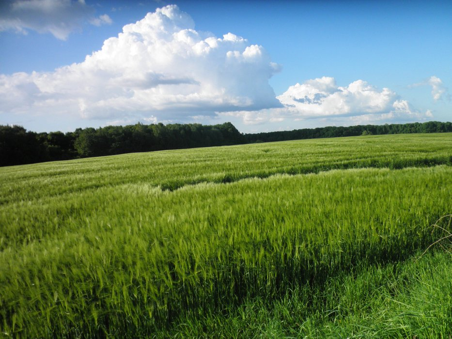 Fortunately, the Ukrainian fields are sown not only with rapeseed, but also with wheat