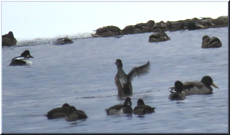 different black and white duck swimming in icy water by other ducks 1 stretching wings.JPG