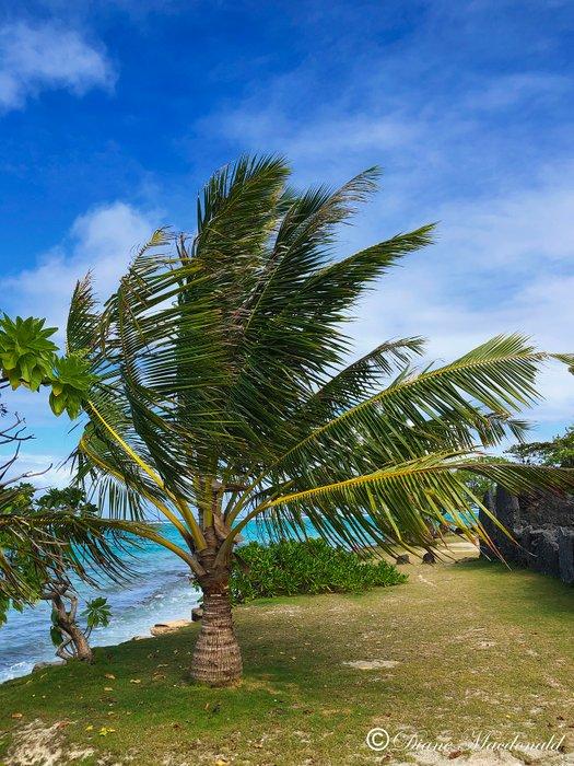 palm in the wind marae anini.jpg
