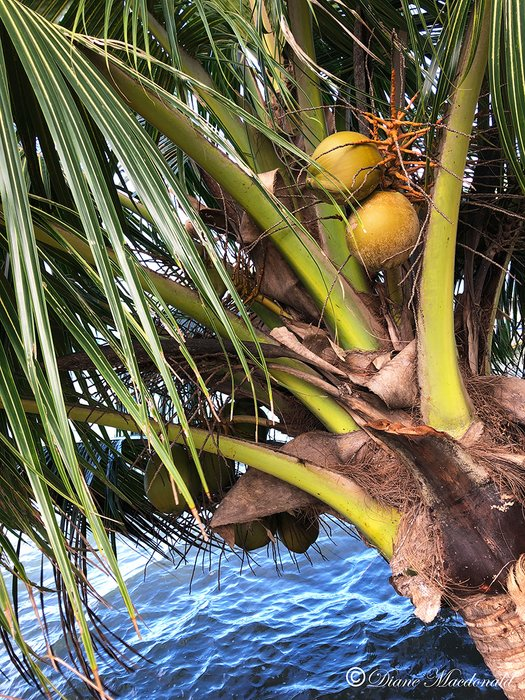 cocnuts by water parea huahine.jpg