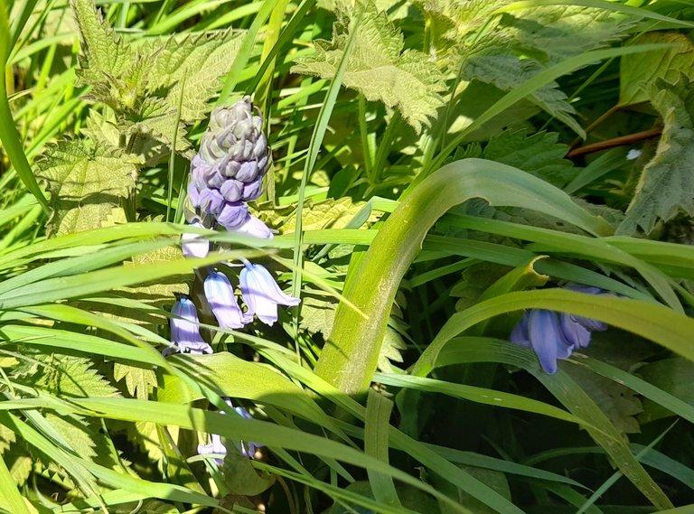Bluebells 4.jpg