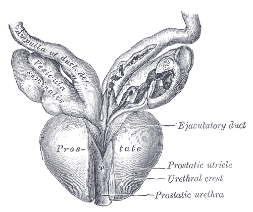 Prostate_-_Gray1153.png