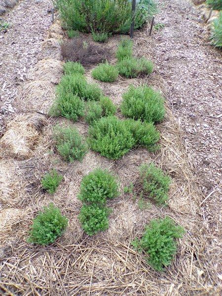 New Herb  Row 6, winter thyme crop July 2020.jpg