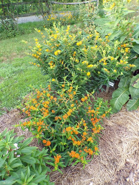 New Herb  Row 1, butterflyweed crop July 2020.jpg