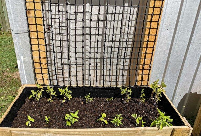 tomatoes basil growing nicely.jpg