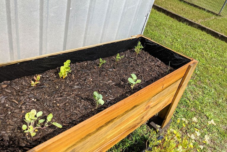 other vegies growing.jpg