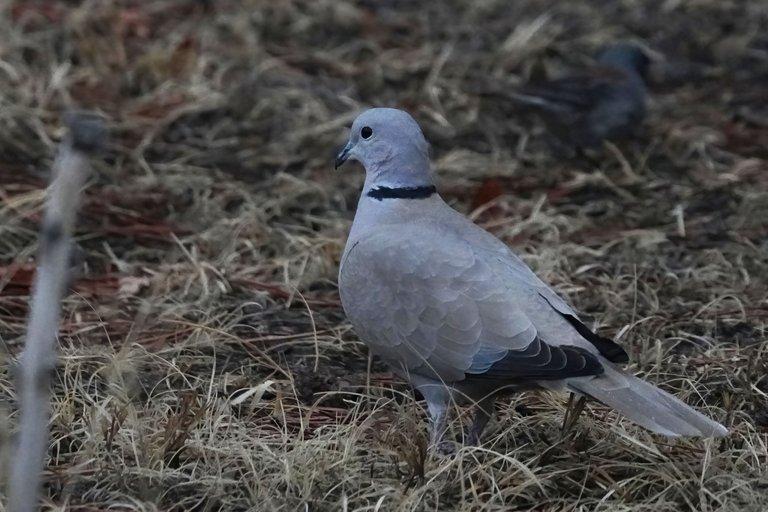 K-Dove02-2021-03-15-DN.jpg