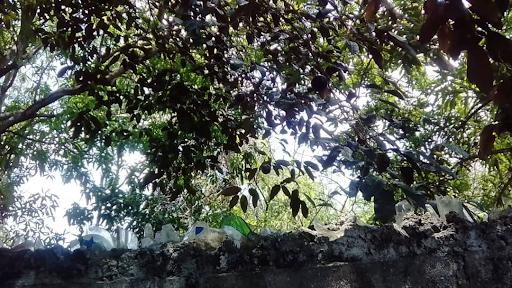 arbol de caimito.png
