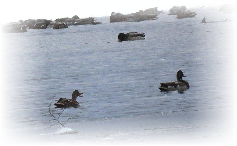 3 ducks swimming in icy water 1 beak open quacking.JPG