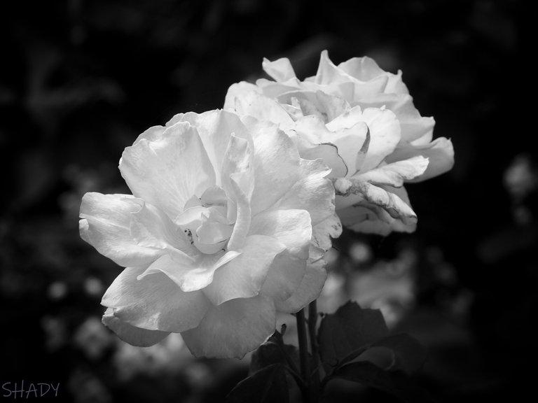 троянда чебешка 3.jpg