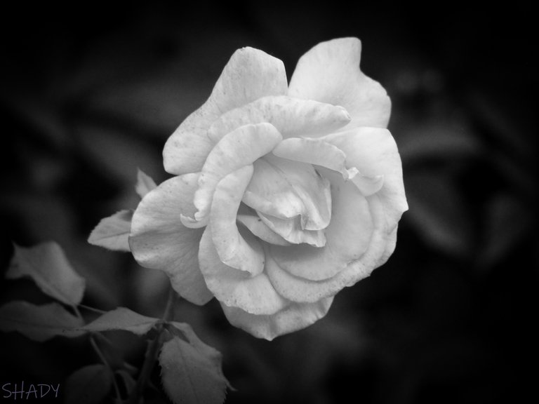 троянда чебешка 2.jpg