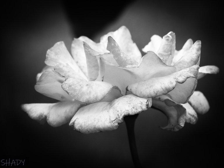троянда чебешка 1.jpg